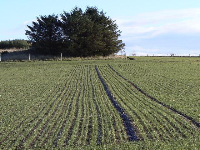 Winter sown barley