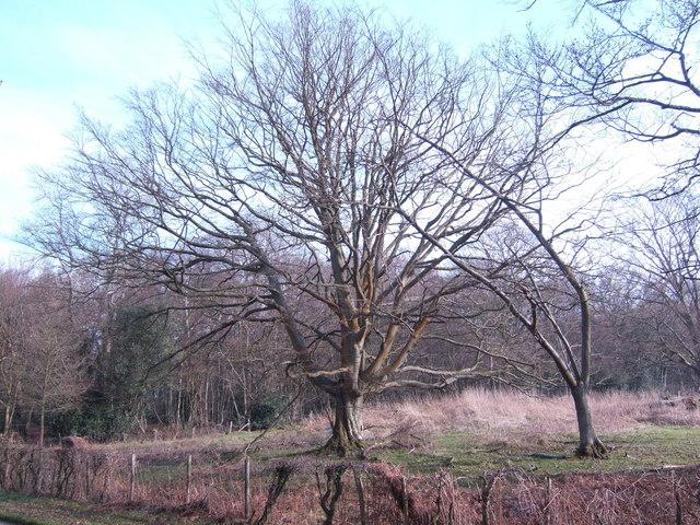 Oak by Heronry Wood