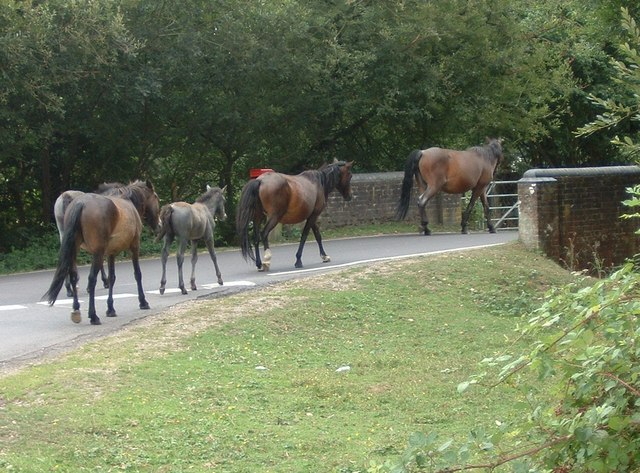 Ponies heading for Burley from Burley Moor