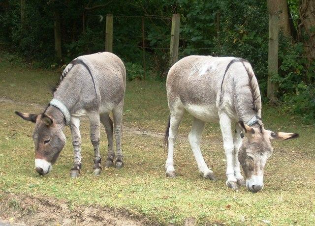 Grazing Donkeys at Burley
