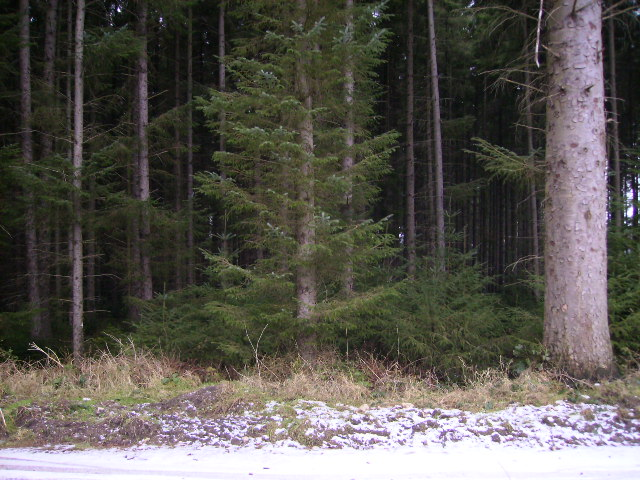 Trees at vastly differing stages of maturity in Dalby Forest