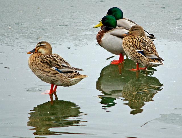 Ducks, Waters' Edge Park