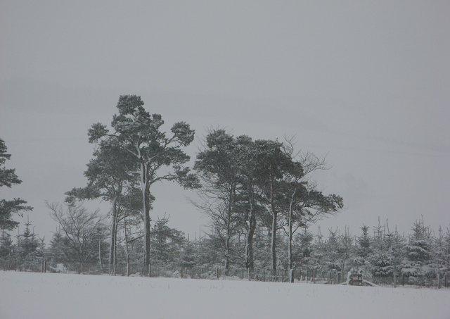 Pines, High Strip