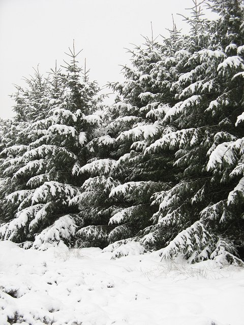 Snow laden spruce, Brown Law