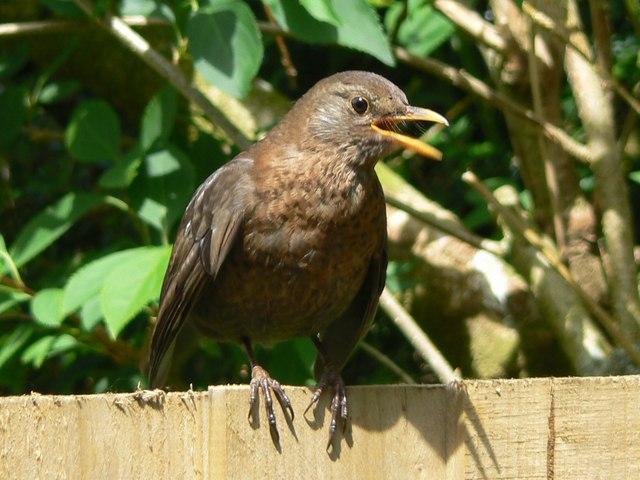 Hen blackbird on a fence, Swindon