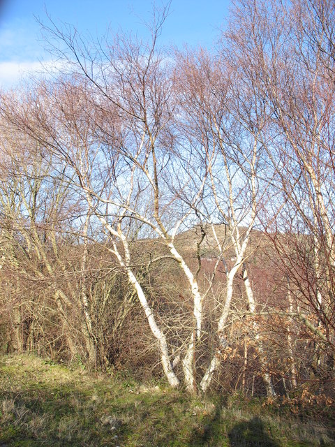 Birch trees above the bomb store