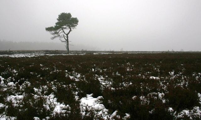 Isolated Tree, Rievaulx Moor