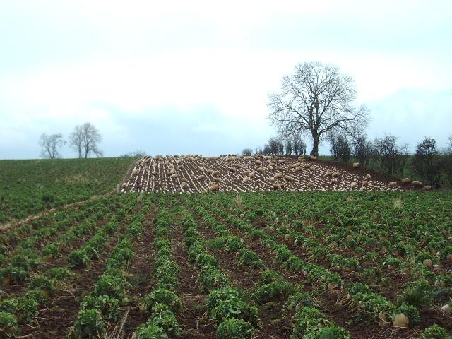 Sheep enjoying a portion of mangel (-wurzel)