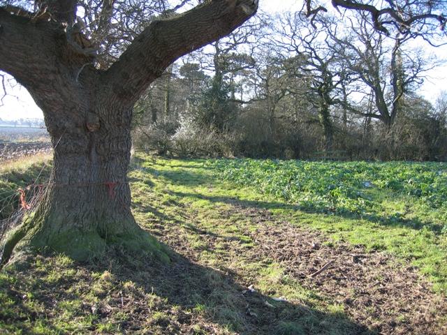 Oak Tree and Woodland