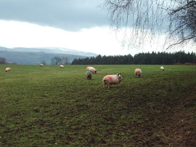 Sheep near to Priory Farm