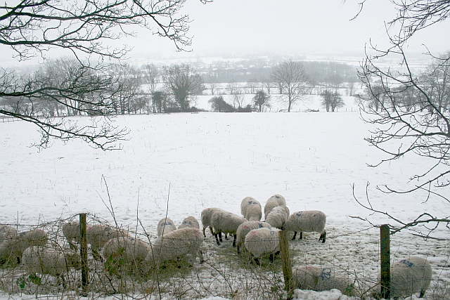 Sheep Eating Hay, Little Malvern