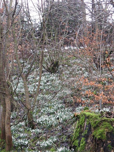 Snowdrops, St Leonards