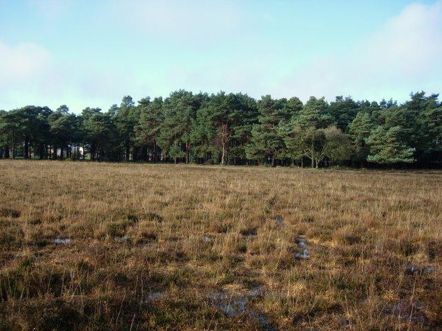 Pines near Beaulieu Road