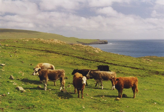 Grazing cattle at Hagdale, Unst