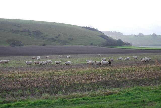 Sheep grazing by A30