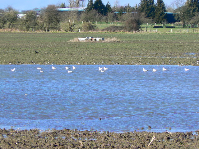 Seagulls on a temporary pond, near Draycot Foliat, Swindon