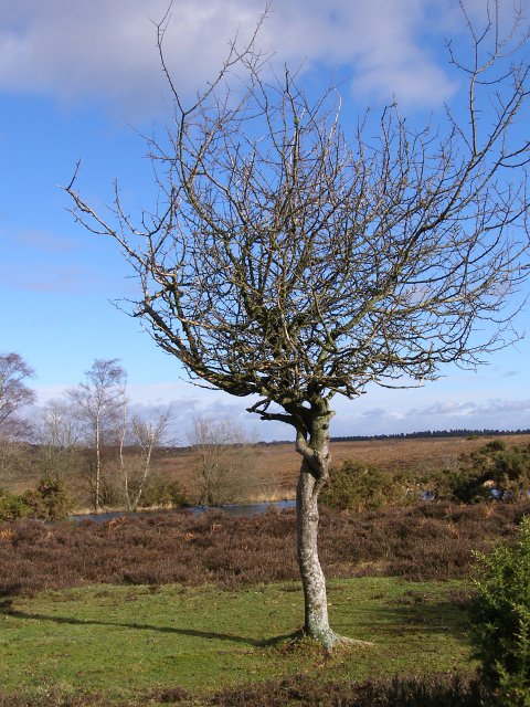 Twisted thorn tree on Broomy Plain, New Forest