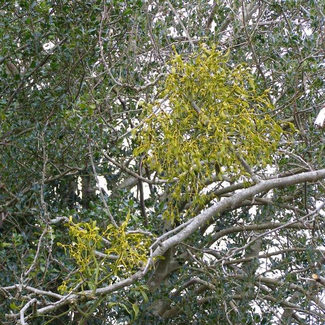 Mistletoe growing on holly, Broomy Plain, New Forest
