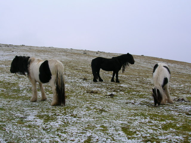 Wild Horses grazing on the slopes of Fell End Clouds