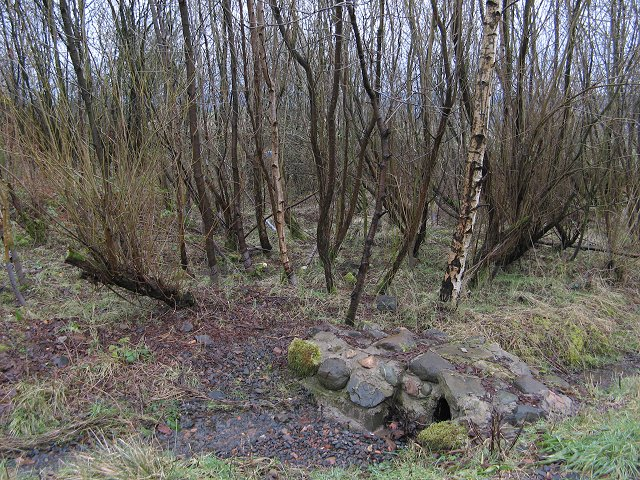 Coppiced willow