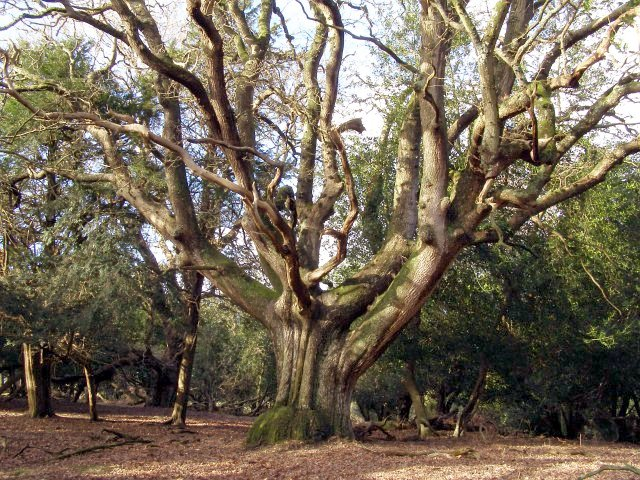 Ancient oak west of The Churchyard, New Forest