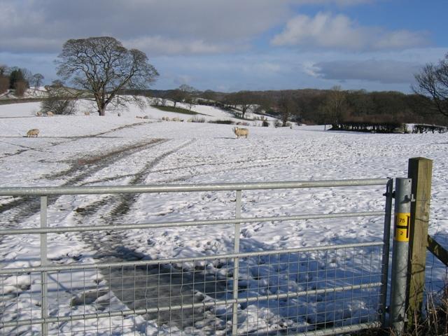 A Winter Sheep Field