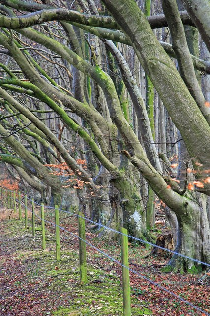 Row of Beech trees in Winter at Berwick Down