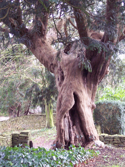 All Saints Church, Fifehead Neville - Hollow Yew Tree