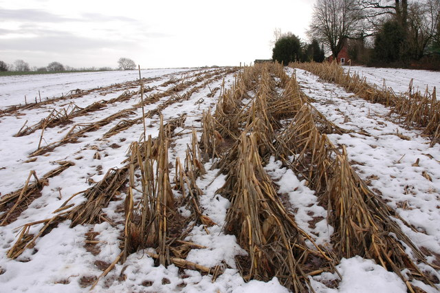 The remains of last year's maize crop