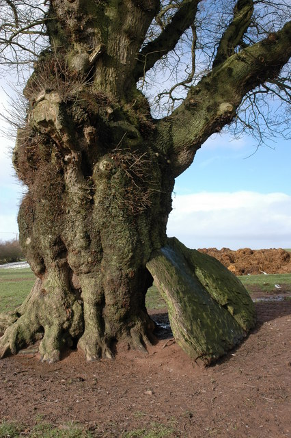 Oak tree with a boulder resting against it.