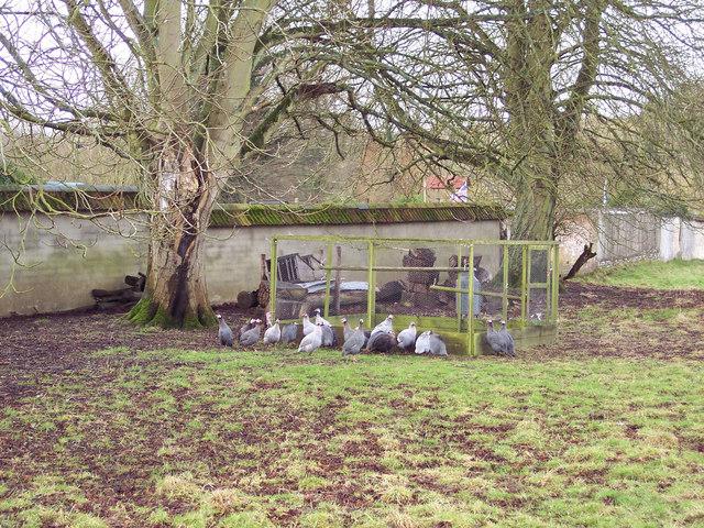 Guinea Fowl in Great Durnford