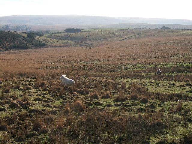 Ponies near Long  Plantation