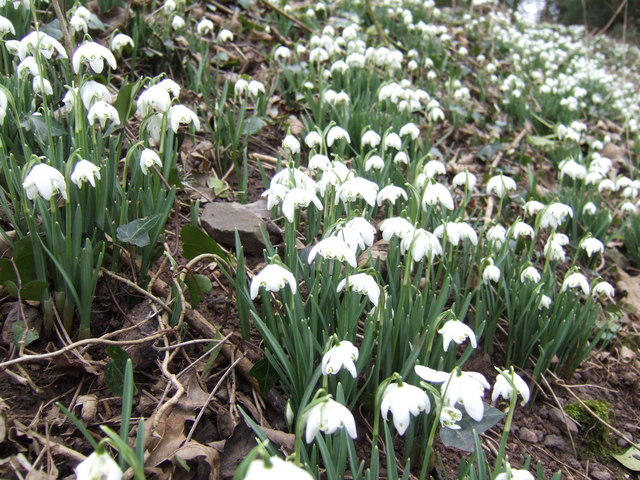 Snowdrops; close-up