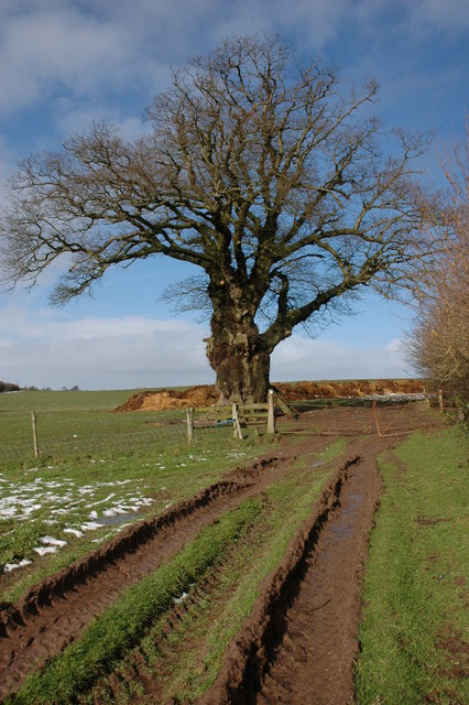 Oak tree near Brickyard Cottage's, near Westhope