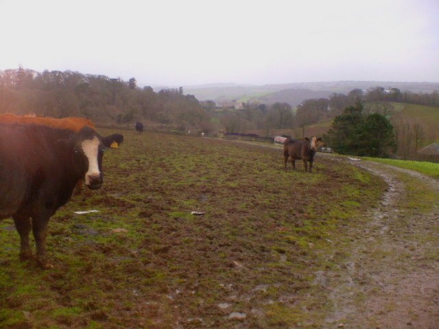 Cows and Mud