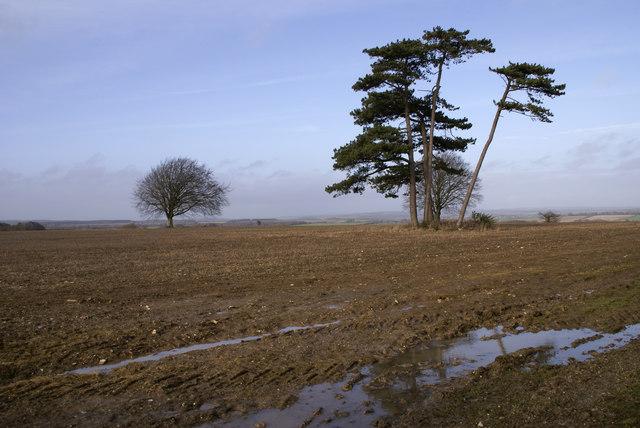 Scots Pine on Charlton Down