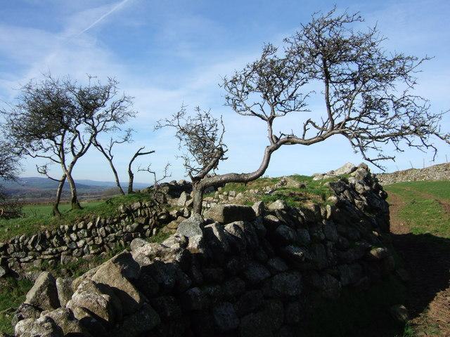 Hawthorns and wall at Horseyeatt
