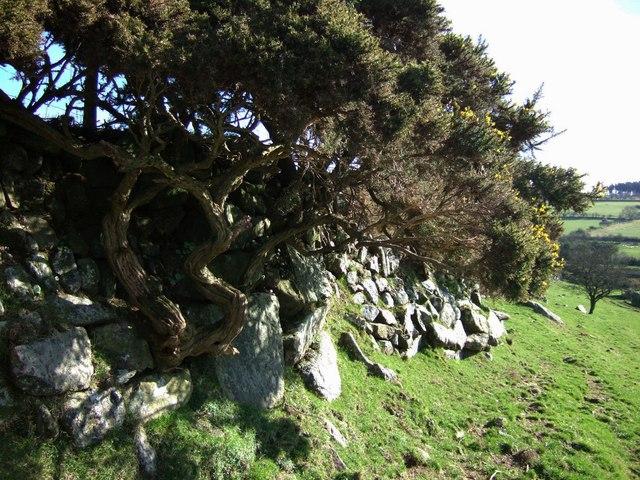 Gorse on Devon bank at Horseyeatt