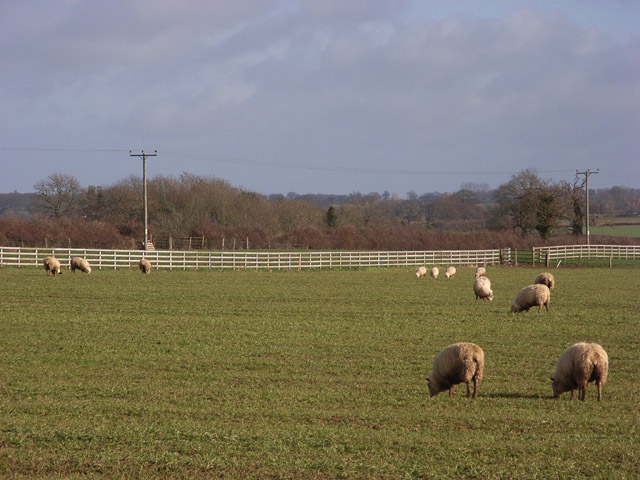 Sheep, Adstockfields