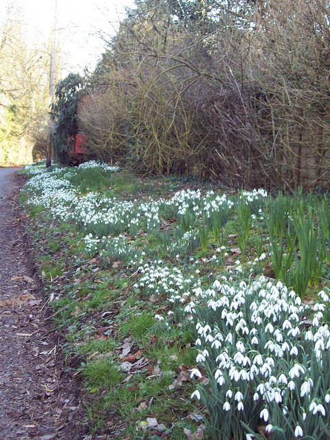 Snowdrops at Baverstock