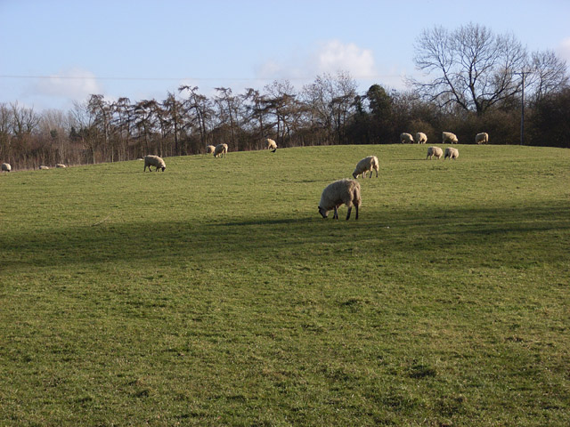 Sheep at Coombs