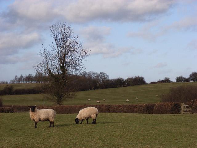 Sheep below Thornborough.
