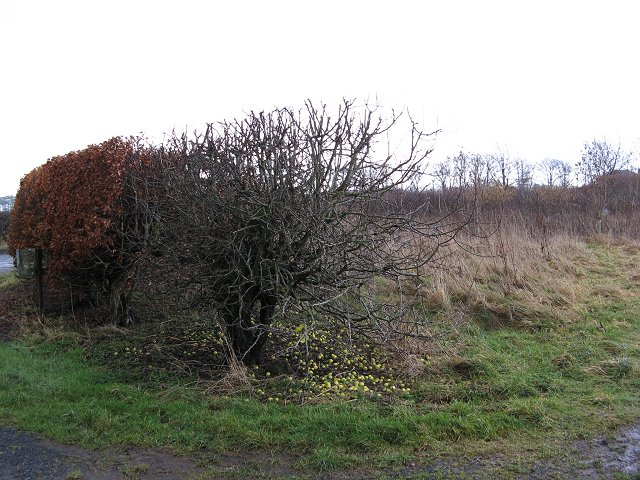 Hedge, Oakwood