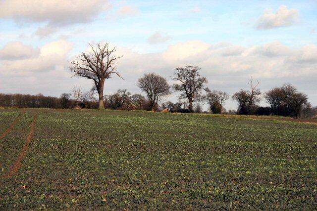 Brassica field near Rickinghall