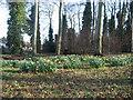 SJ4287 : Spring in the Blackwoods, Woolton by Sue Adair