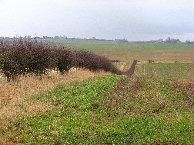 Restored hedge, Blackadder Mains