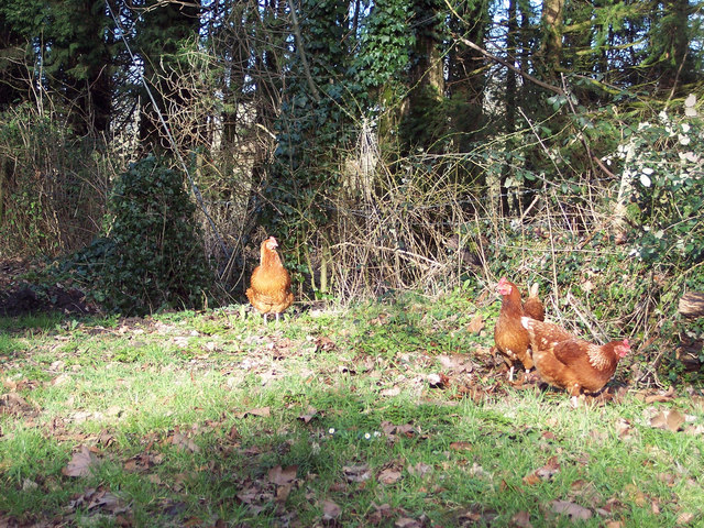 Hens scratching on the verge near St Georges Church, Fovant