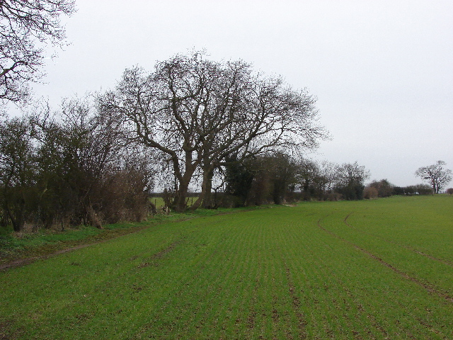Footpath by hedge and wheatfield