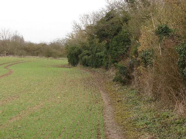 Hedge by wheatfield