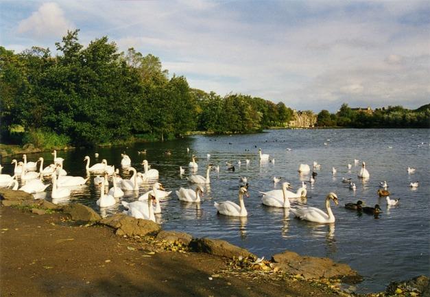 Swans at St Margaret's Loch,Edinburgh